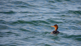 Red-breasted merganser swimming in green water Royalty Free Stock Image