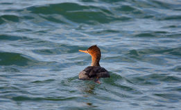 Red-breasted merganser swimming in green water Stock Photography
