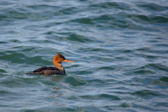 Red-breasted merganser swimming in green water Royalty Free Stock Images