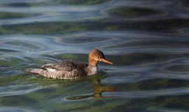 Red-breasted merganser swimming in green water Royalty Free Stock Photography