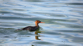 Red-breasted merganser swimming in green water Stock Images