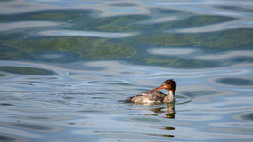 Red-breasted merganser swimming in green water Stock Image