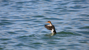 Red-breasted merganser on water flapping it``s wings Stock Photos