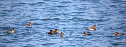 Red-breasted mergansers swimming in blue water Stock Photos