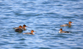 Red-breasted mergansers swimming in blue water Royalty Free Stock Image