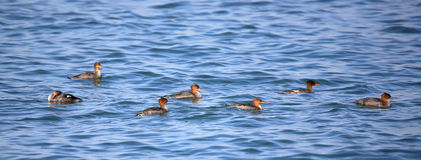 Red-breasted mergansers swimming in blue water Stock Photo