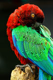 Red-Breasted Musk-Parrot grooming Stock Images