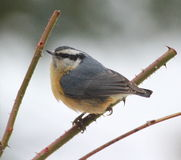 Red Breasted Nuthatch. On rose plant Royalty Free Stock Images