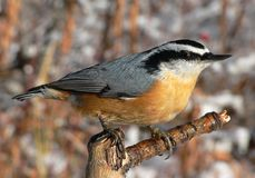 Red-breasted Nuthatch stock photography