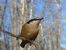 Red-breasted Nuthatch. (Sitta canadensis) at Fish Creek Park, Calgary, Alberta, Canada Royalty Free Stock Photo