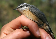 Red-breasted Nuthatch. A Red-breasted Nuthatch in the hand during banding Stock Image