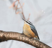 Red Breasted Nuthatch. Perched on a branch after ice storm. Some frozen droplets can be seen on its head Royalty Free Stock Photo