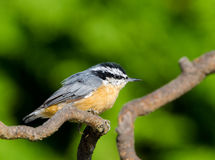 Red-breasted Nuthatch, B,C., Canada Stock Photos