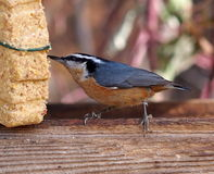 Red Breasted Nuthatch On Birdfeeder. Red breasted nuthatch on bird feeder in autumn Stock Images