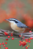 Red-breasted Nuthatch On Bittersweet Royalty Free Stock Images