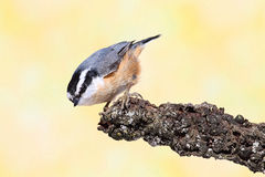 Red-breasted Nuthatch On A Branch Royalty Free Stock Photography