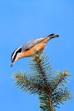 Red-breasted Nuthatch On A Branch Stock Photo