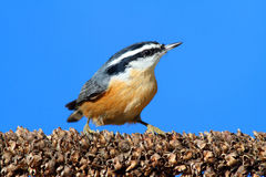 Red-breasted Nuthatch On A Branch Royalty Free Stock Images