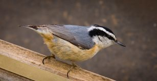 A Red-breasted Nuthatch closeup Stock Images