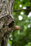 Red-breasted Nuthatch At The Entrance Of Its Nest royalty free stock photography