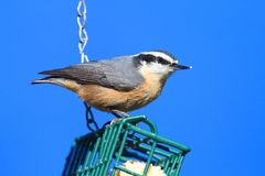 Red-breasted Nuthatch On A Feeder Royalty Free Stock Photos