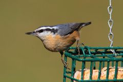 Red-breasted Nuthatch On A Feeder Stock Photo