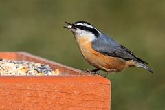 Red-breasted Nuthatch On A Feeder Stock Image