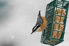 Red-breasted Nuthatch On A Feeder Stock Images