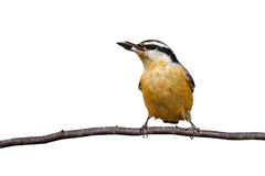 Red-breasted nuthatch holds a sunflower seed. While perched on a branch; white background royalty free stock photos