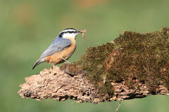Red-breasted Nuthatch On A Log Royalty Free Stock Photos