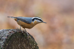 Red-breasted Nuthatch Male, Sitta Canadensis Stock Photos
