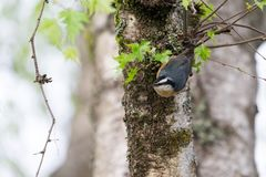 Red breasted nuthatch Royalty Free Stock Photos