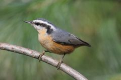 Red-breasted Nuthatch On A Perch Stock Photography