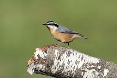 Red-breasted Nuthatch On A Perch Stock Images