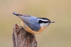Red-breasted Nuthatch On A Perch Stock Image
