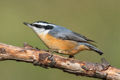 Red-breasted Nuthatch On A Perch Royalty Free Stock Image