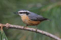 Red-breasted Nuthatch On A Perch Royalty Free Stock Photography