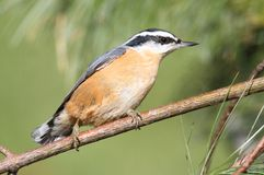 Red-breasted Nuthatch On A Perch Stock Photos
