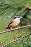 Red-breasted Nuthatch On A Perch Royalty Free Stock Photos