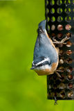 Red-breasted Nuthatch Royalty Free Stock Images