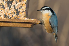 Red-breasted Nuthatch Stock Photos