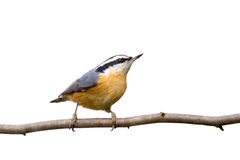 Red-breasted nuthatch perched on a branch. In search of food; white background stock photography