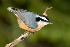 Red-breasted Nuthatch. Perched on a branch Stock Images