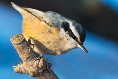 Red-breasted Nuthatch Royalty Free Stock Image