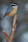 Red-breasted Nuthatch. Perched on a broken branch Royalty Free Stock Images