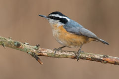 Red-breasted Nuthatch Stock Image