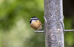 Free Red-breasted Nuthatch Perched On A Backyard Bird Feeder 2 Stock Image - 201997151