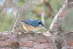 Red-breasted nuthatch perched on a pine tree on the lookout - in the winter at the Sax/Zim Bog in Northern Minnesota.  royalty free stock image
