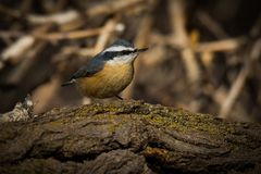Red Breasted Nuthatch. Perched on a tree limb under the afternoon sun Stock Image