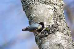 Red breasted nuthatch. Nest hole at  BC Canada Stock Photo